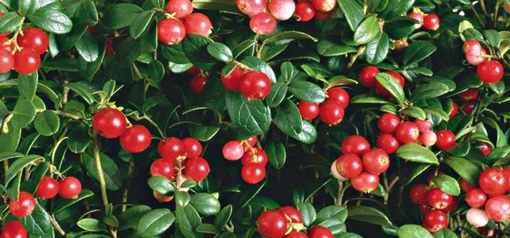 Брусника повышает давление или понижает? Как правильно употреблять ягоду?