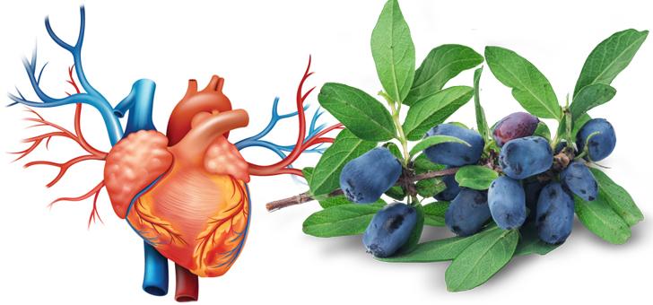 Жимолость и кровеносная система